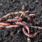 garden worms Campbell River