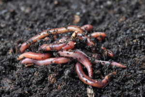 garden worms Campbell River